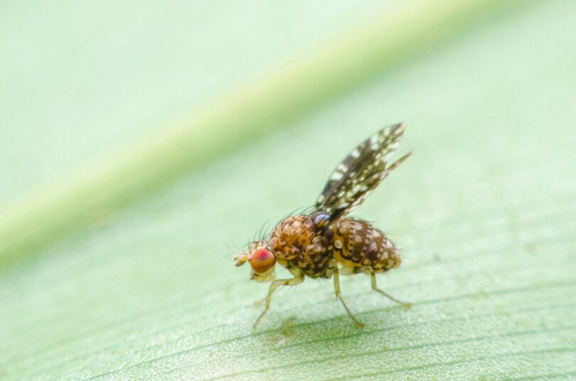 Can Fruit Flies Make You Sick Sermo